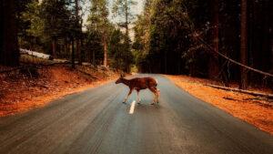 deer in a road